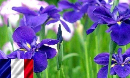 France-Three-petal Beauty